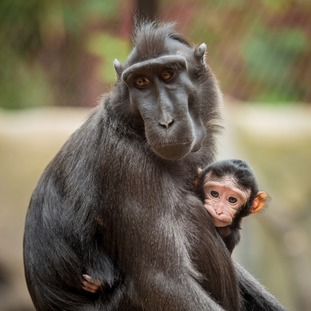 The baby Sulawesi crested macaque was born on Sunday.