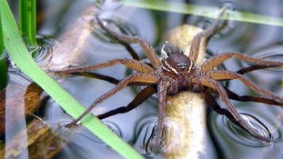 Rare spiders to be released in Norfolk