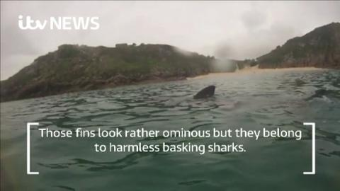 Basking_Shark_Web