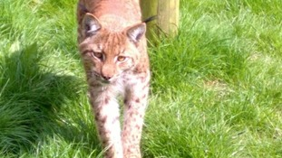 Dartmoor Zoo warn people not to approach the young lynx as he is very timid.