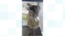 The injured lamb that's now recovered from a broken leg