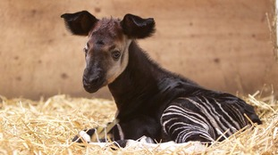 Name the new baby okapi that's just arrived in Bristol