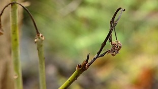 Ash Dieback crisis talks in Holyrood