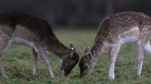 There are calls for more action to tackle the deer problem.