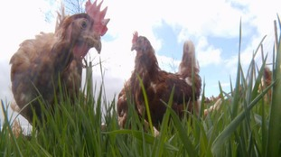 Free as a bird: Chickens allowed outside after four months