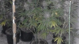 Hundreds of cannabis plants found growing at house in Gillingham