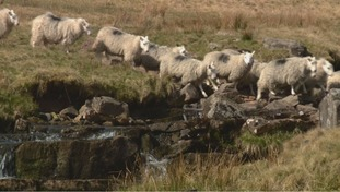 Sheep crossing a stream in the Brecon Beacons
