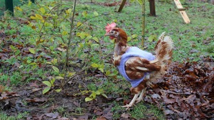 The hens are now growing new feathers to keep them warm next winter