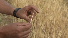 Spring barley - a third of the size it should be