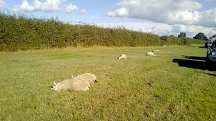 Police appeal after sheep killed by vehicle in Cambridgeshire