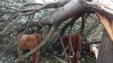 Storm Callum: Falling tree traps cow in its branches