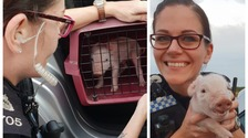 Police found the piglet in the road and returned him to his owner.