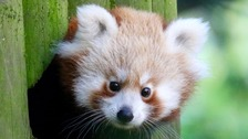 Rare red panda cub born at Banham Zoo