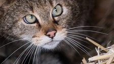 A population of wildcat has not been present in Britain for over three hundred years.