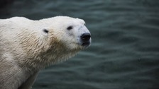 Polar Bear due for Yorkshire dies in Korea
