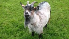 George Pet Goat
