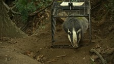 Badger culling only has 'modest effect' in stopping bovine TB