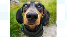 Community celebrates return of Frank the missing sausage dog