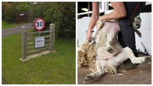 A sign for wool and a sheep being sheared.