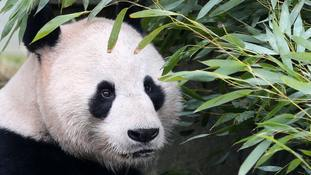 UK's only male giant panda 'Sunshine' recovers from operation on testicle tumours