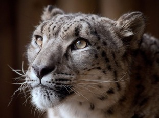 Snow Leapard Margaash was shot and killed after escaping his enclosure