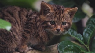 The Scottish wildcat is Britain's rarest mammal.