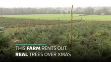 Sustainable Christmas: replant a festive tree