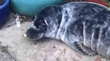 The seal pup was found hiding in plant pots