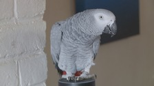 Parrot fashion! Rocco orders Christmas gifts online...