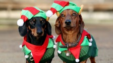 Hundreds of sausage dogs dress up for Christmas walk