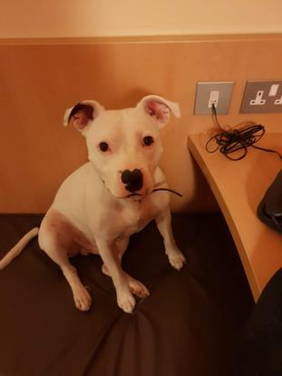 The Staffordshire bull terrier was found abandoned at the roadside in Trentham, Stoke-on-Trent