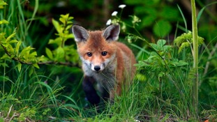 A fox was reportedly killed during a hunt in Cheshire
