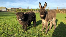 Orphaned miniature donkey 'adopted' by friendly sheep