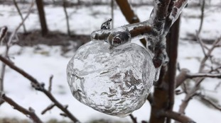 The 'ghost apples' which have been discovered hanging from orchards in Michigan.