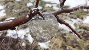 An american farmer discovered the 'ice apple' after pruning his trees.