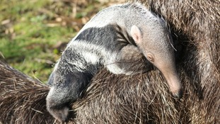 Yorkshire Wildlife Park welcomes tiny new giant anteater