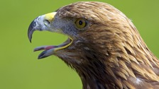 Eagle species could be reintroduced into Welsh countryside