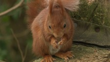 A red squirrel on Tresco in the Isles of Scilly.
