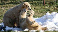 Polar bears at Yorkshire Wildlife Park take to the ice