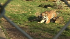 Devon zoo defends letting children play tug of war with lions and tigers