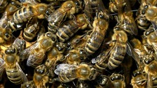 Don't step on sleepy bees, warn scientists