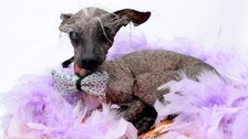 Chase, Britain's ugliest dog, has died