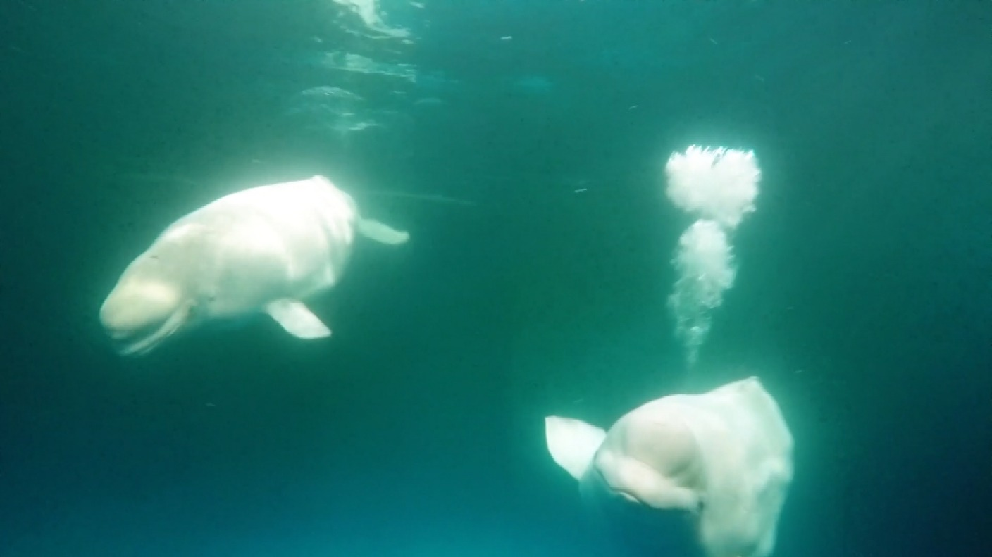 ea1c87aa8db Why are two beluga whales moving more than 6,000 miles to a new home ...