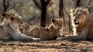 The suspected poacher was devoured by a pride of lions.