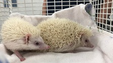 Pair of African pygmy hedgehogs abandoned in a box in Harrow