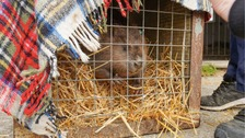 Beavers released in North Yorkshire to tackle flooding