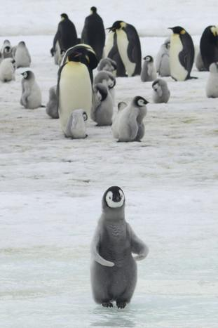 Emperor penguins and chicks at Antarctica's Halley Bay
