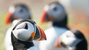 Birdwatchers urged to join the 'puffarazzi': Photos of puffins needed to help threatened seabird