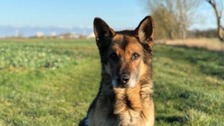 Former police dog who chased down burglar on first shift dies aged 15