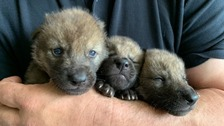 three wolf cubs